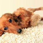 Common dachshund health problems