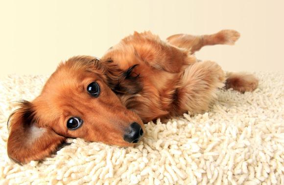 Common dachshund health problems
