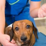 Cost of back surgery for dachshunds