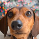 Cute mini dachshund names