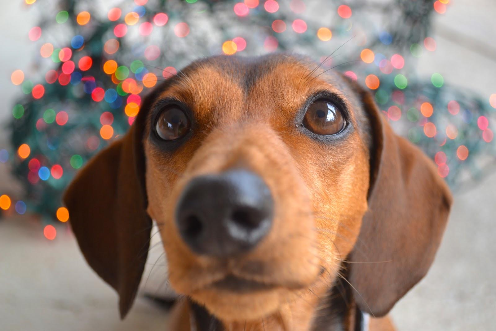 Cute mini dachshund names