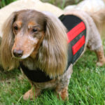 Dachshund back surgery recovery time