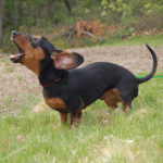 Dachshund barking training