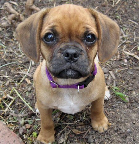 Dachshund beagle pug mix