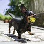 Dachshund dog facts