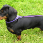 Dachshund dog information