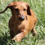 Dachshund facts and information
