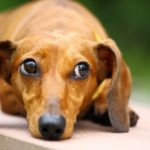 Dachshund health problems