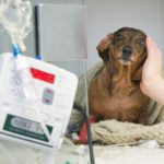 Dachshund herniated disc recovery without surgery