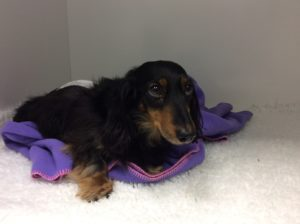 Dachshund herniated disc surgery cost