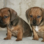 Dachshund pug mix for sale