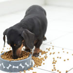 Dachshund puppies food they eat