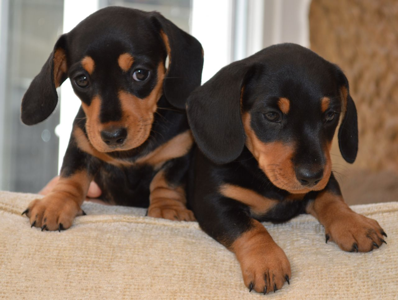 Dachshund puppies information