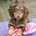 Dapple mini dachshund names