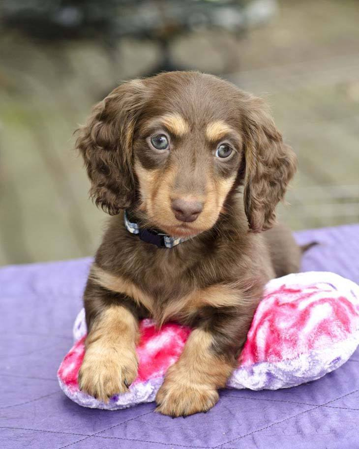 Dapple mini dachshund names
