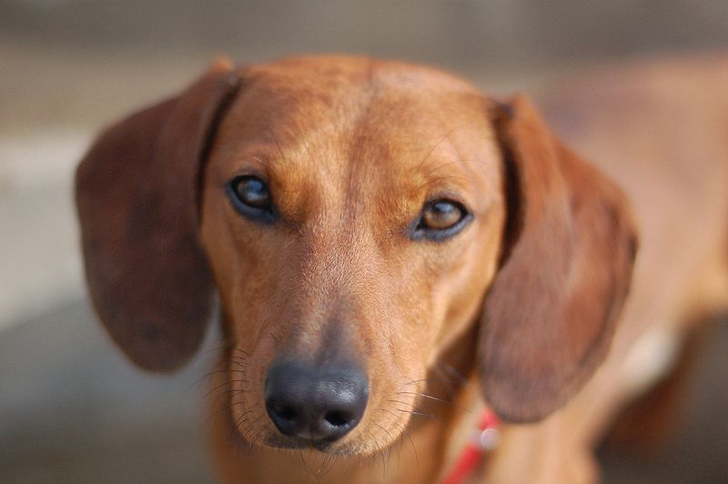 Dog names for dachshunds