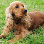 English cocker spaniel health problems