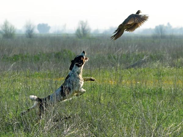 English cocker spaniel hunting breeders