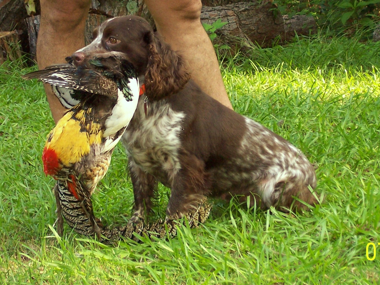 English cocker spaniel hunting