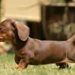 Facts about dachshund puppies
