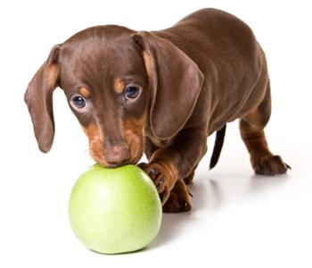 Feed mini dachshund puppy
