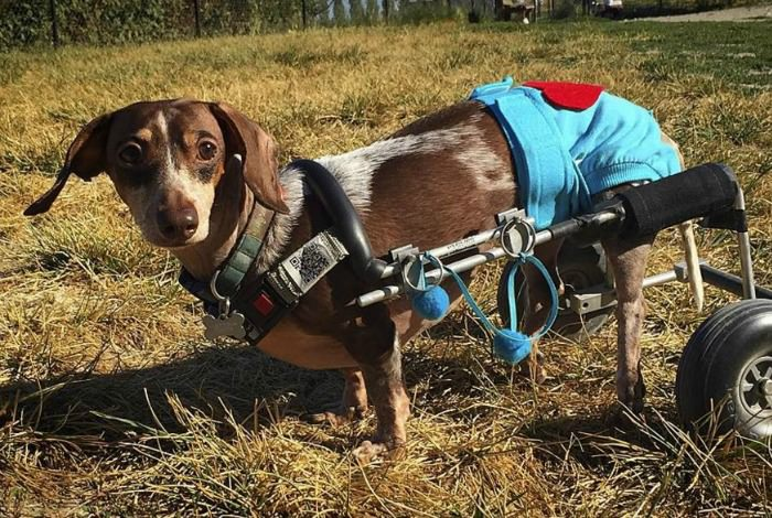 Health problems in dachshunds