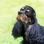Health problems of cocker spaniels