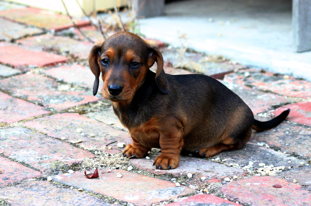 How often to feed a dachshund puppy