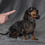How to get dachshund to stop barking