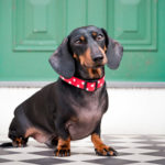 How to stop my dachshund from barking