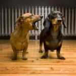 How to train dachshund to stop barking