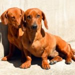 Information about dachshund dogs