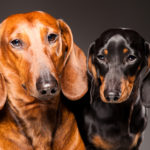Information on dachshund dogs