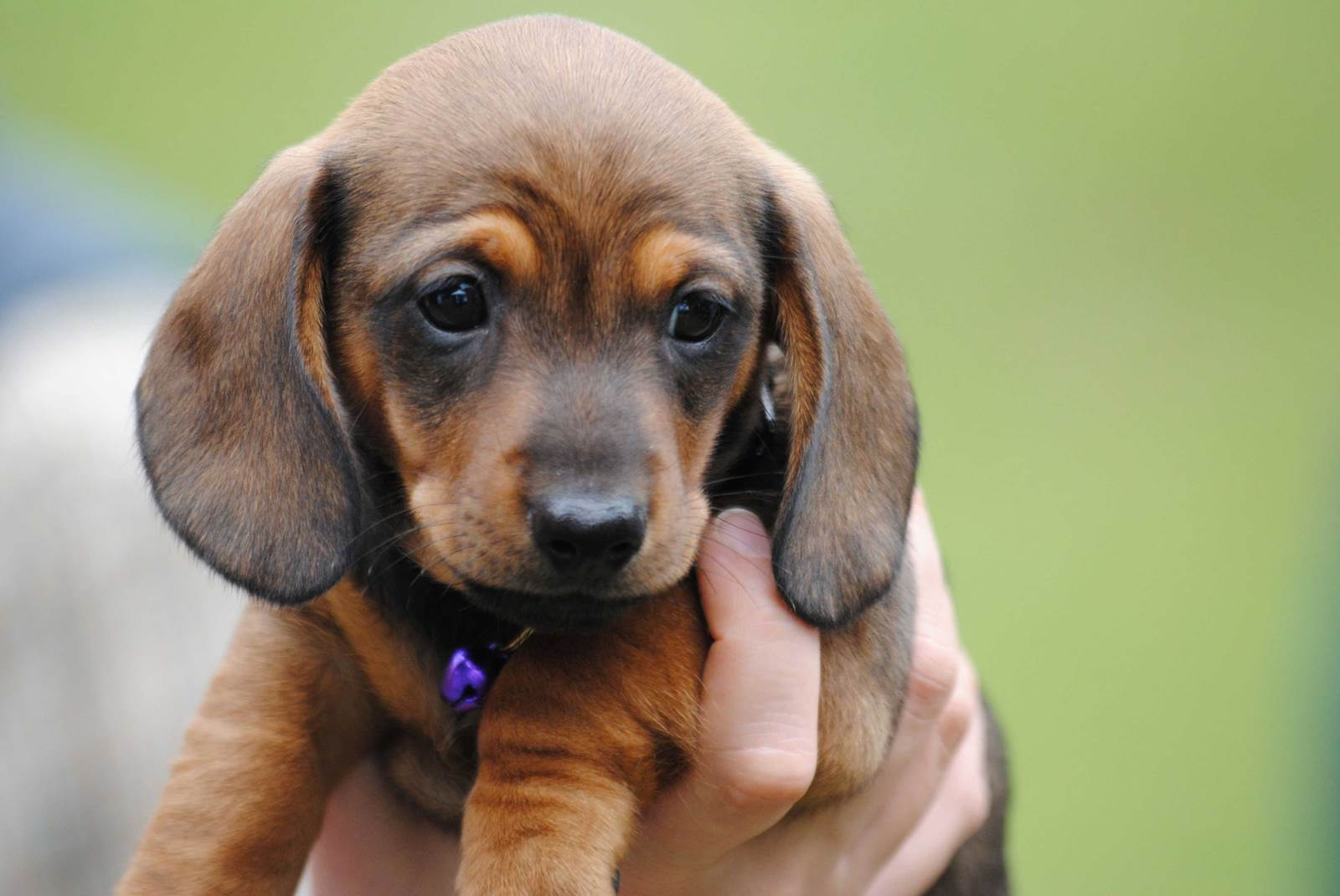 Miniature dachshund names