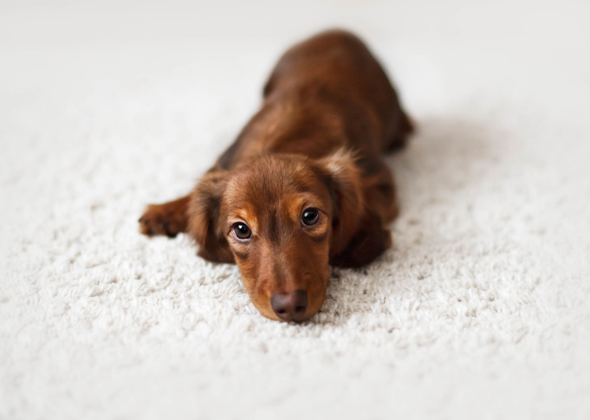 Names for dachshund female puppy