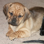 Pug dachshund mix puppies for sale