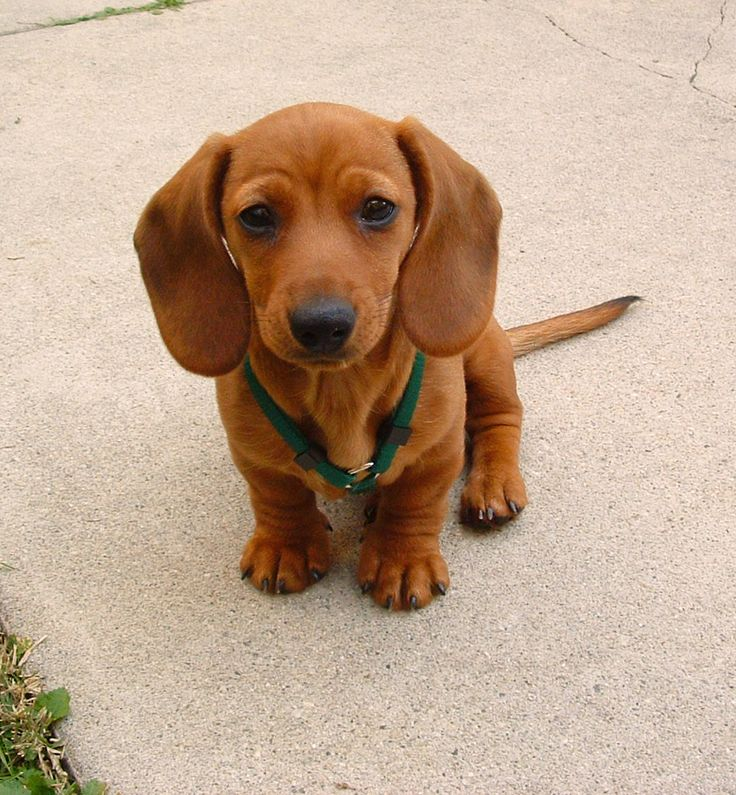 What The Best Dog Food For Dachshunds