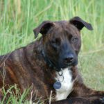 Brindle dogs