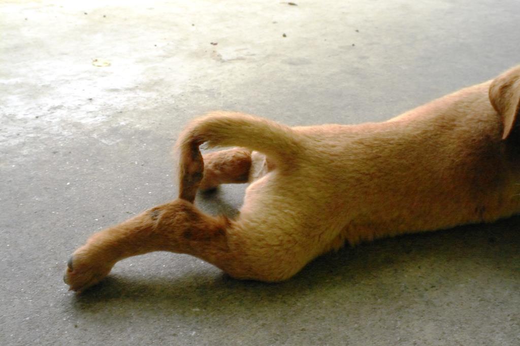 Broken tail dog