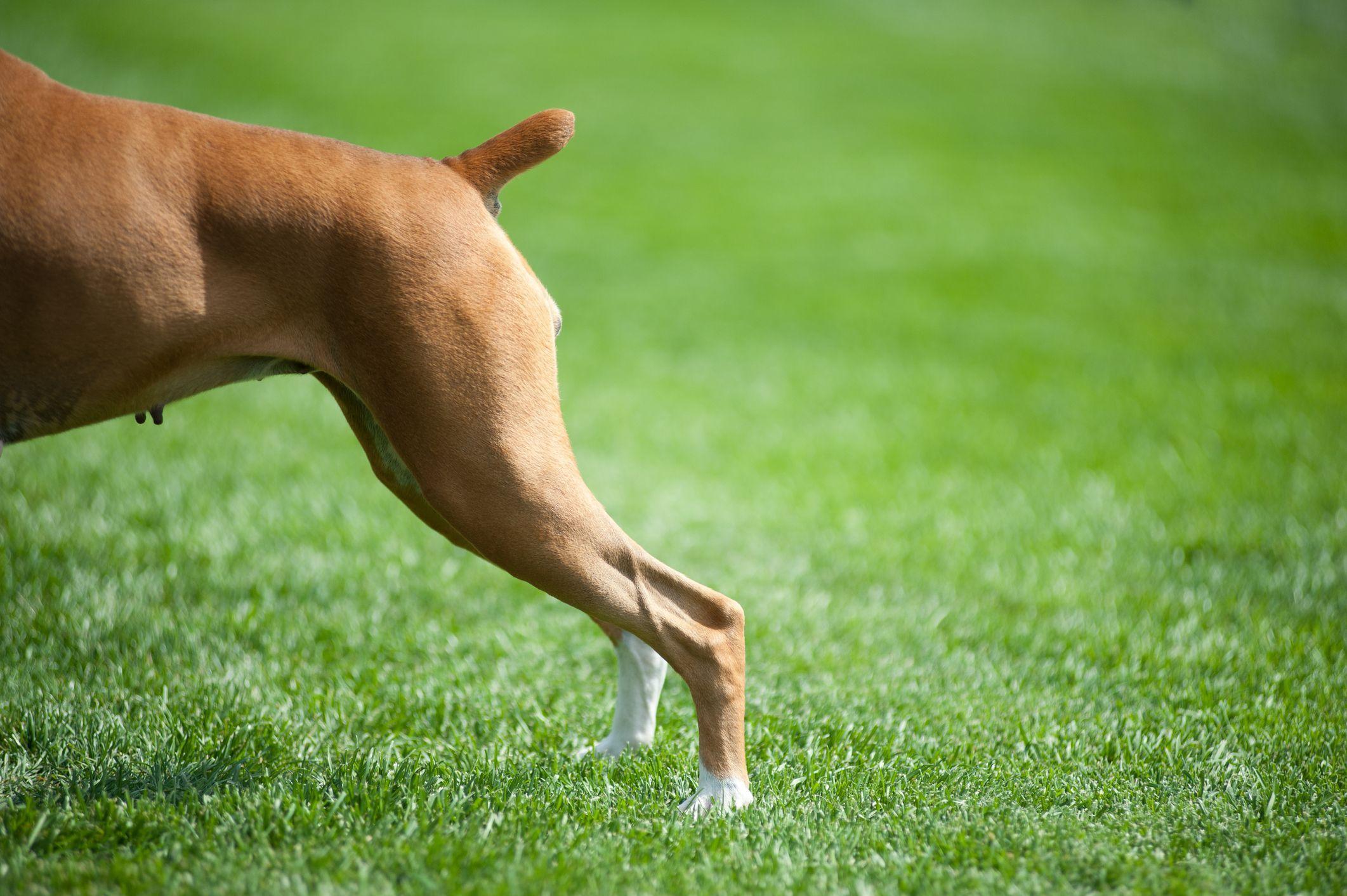 Broken tail on dog