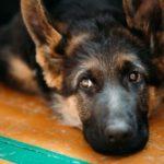 Female dog period