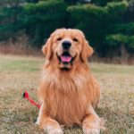 Smiley The Golden Retriever