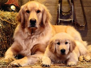 Golden Retriever with puppy
