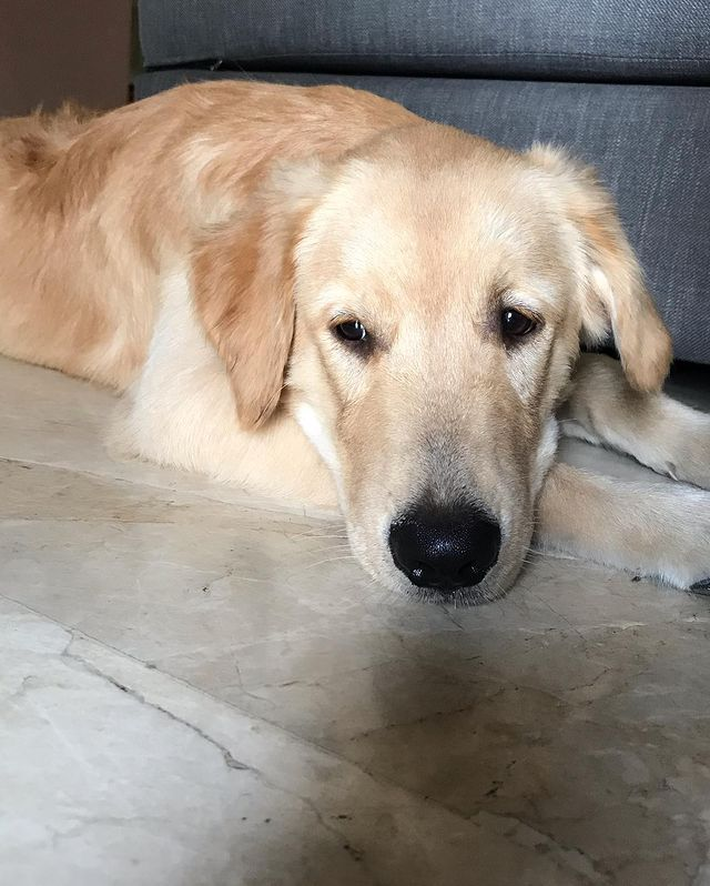 sad-golden-retriever