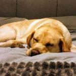 hip dysplasia golden dog