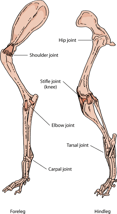 Key joints in a dog's leg