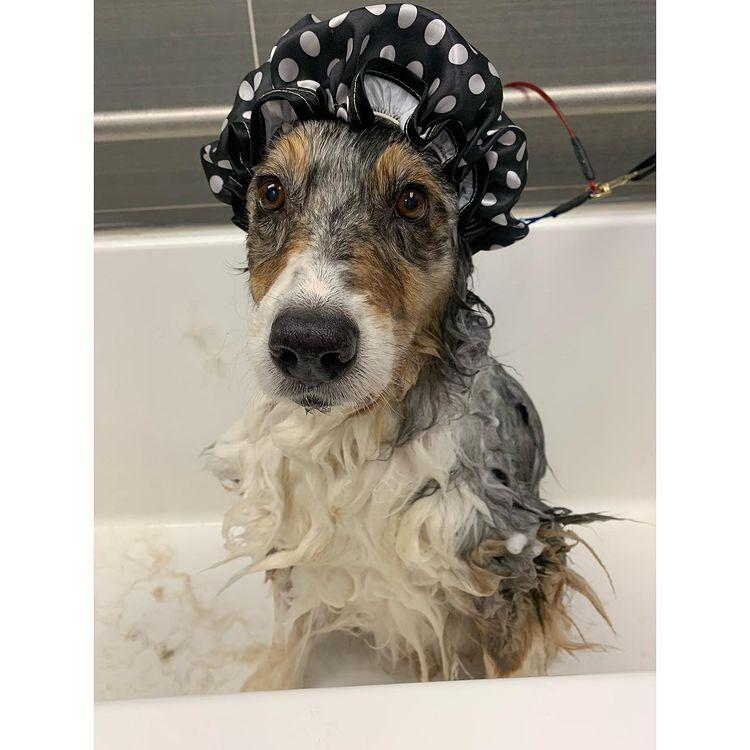Australian Shepherd shower
