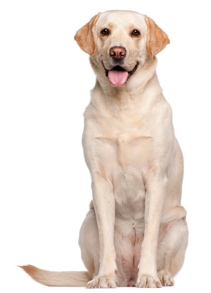 Breed Labrador Retriever image