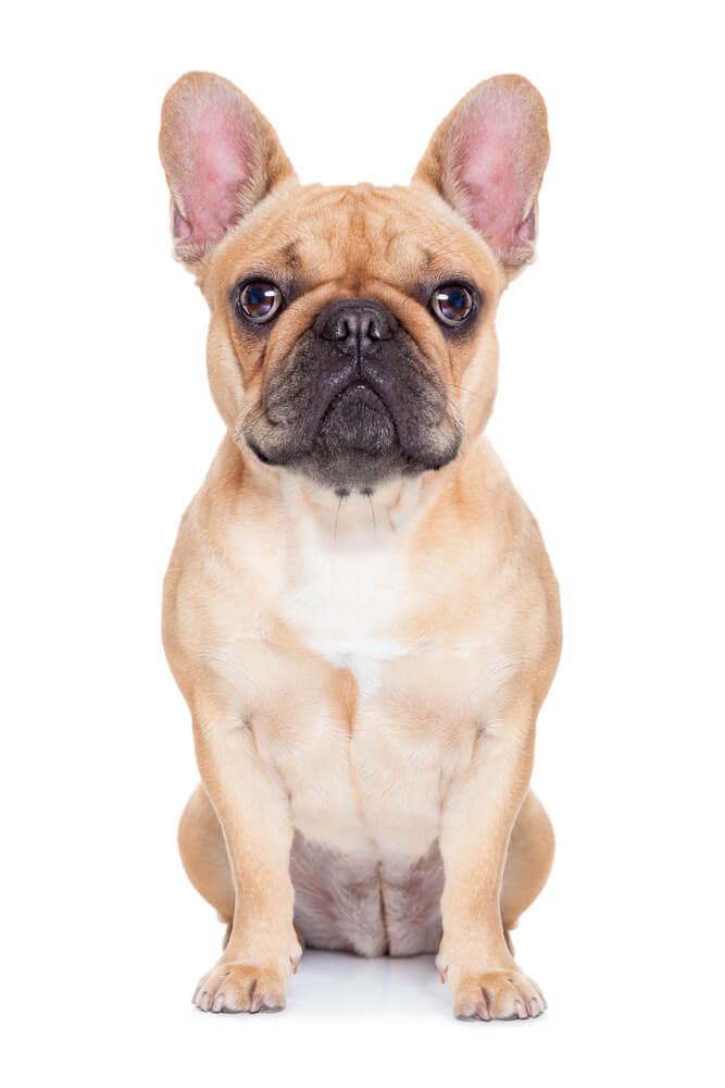 Breed French Bulldog image