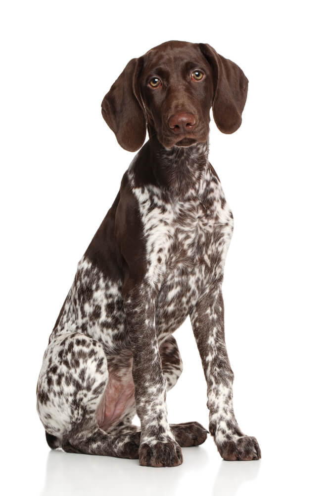 Breed German Shorthaired Pointer image